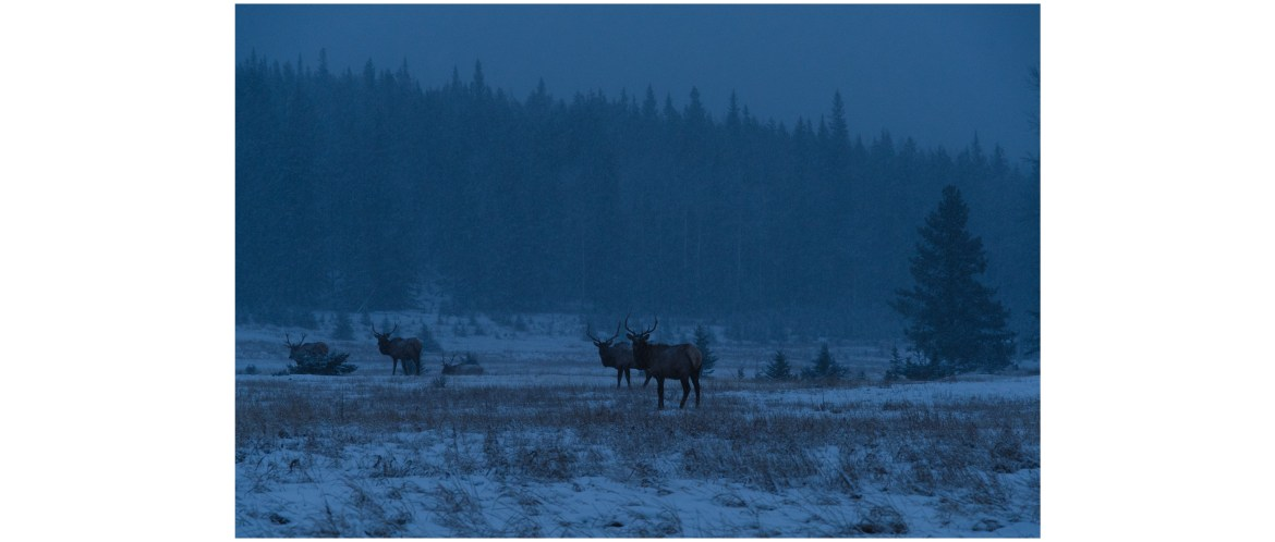 Elks in morning snow, Banff National Park