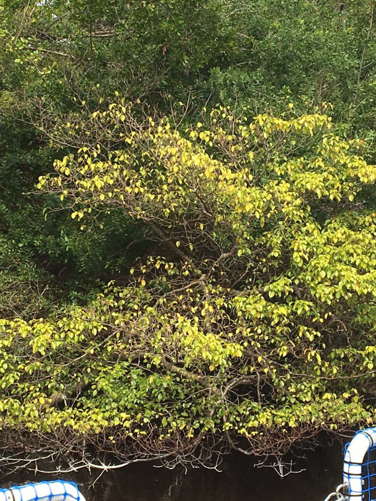Manchineel Tree