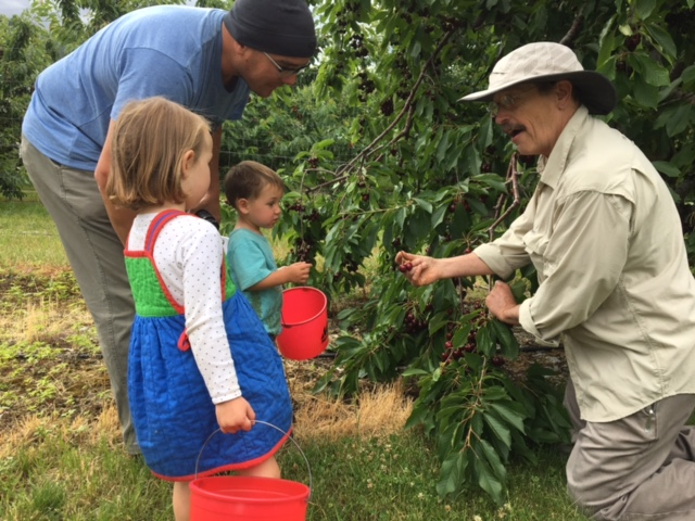Learning how to pick cherries with the stem on so that they'll stay fresh, longer.