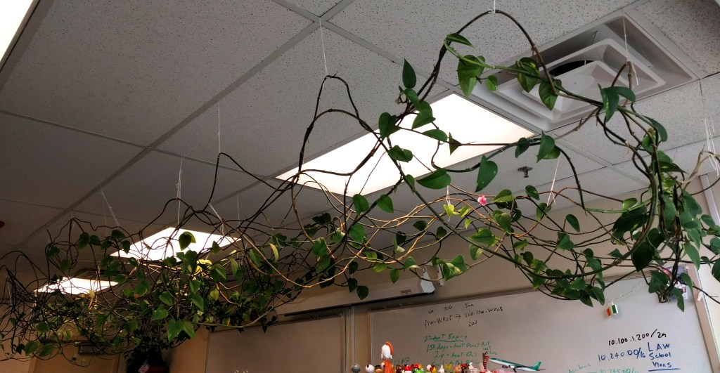 philodendron in my office