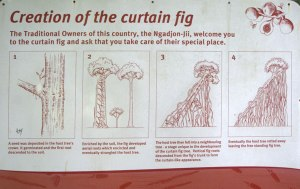 Curtain-Fig