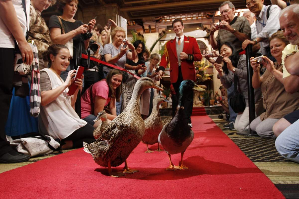 The Peabody Hotel Ducks Red Carpet Lifestyle  Adventures