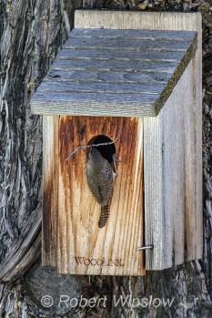 House Wren at Nest Box 0223W8WM