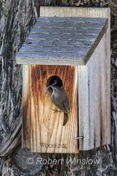 House Wren at Nest Box 0231W8WM
