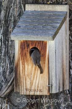 House Wren at Nest Box 0233W8WM