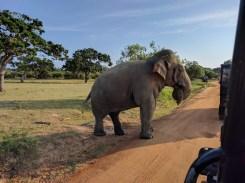 Op de laatste dag van onze roadtrip bezochten we Yala National Park. Hallo bronstige olifant!