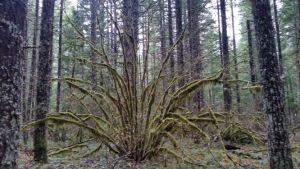 tangle of vine maple