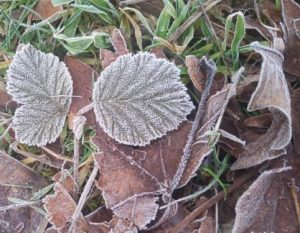 leaves rimed with frost