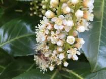 Honey bee on cherry laurel