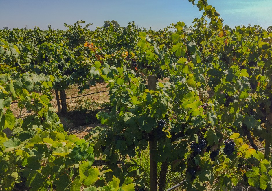 Lodi, CA Vineyard