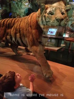 Jackson checks out the tiger at the American Museum of Natural History