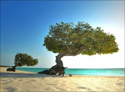 Divi Trees in Aruba