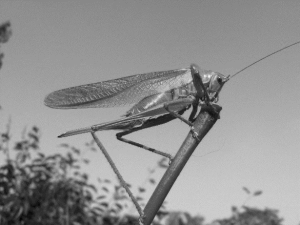 A Stridulating Cricket. Is it just me or would giant Crickets be freakin' terrifying? Let's all just take 12 minutes and 32 seconds out of our day and think about that.