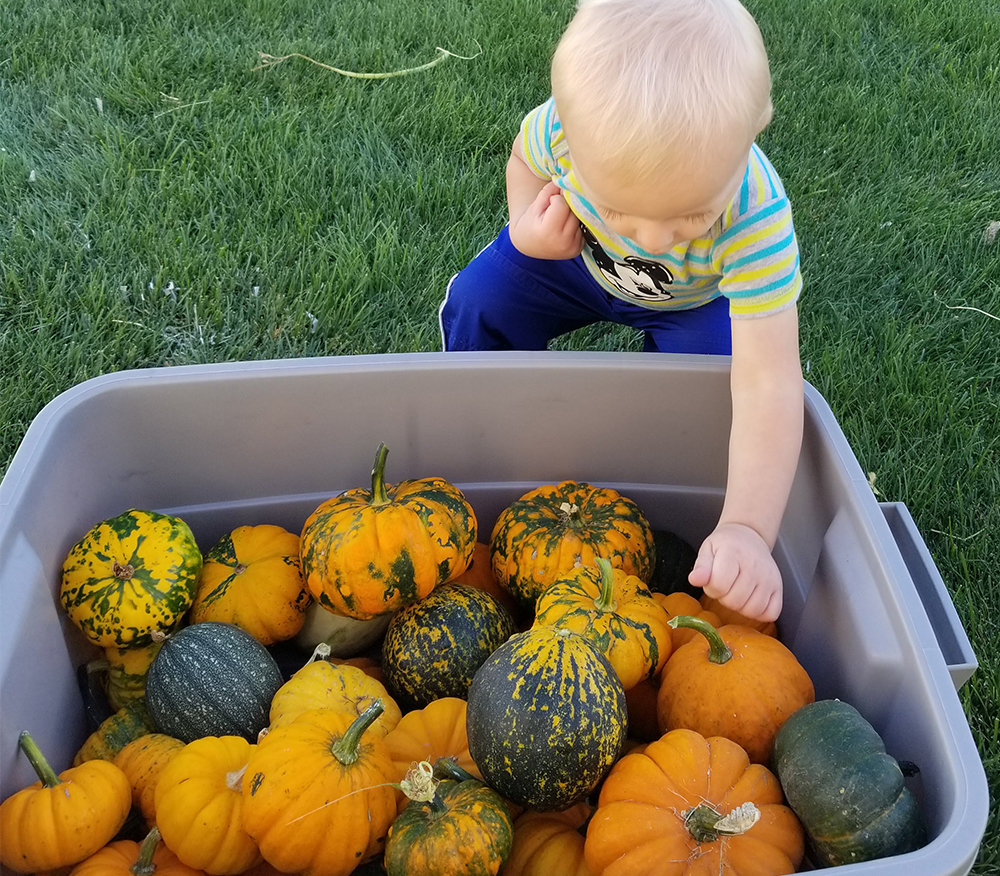 Baby helping to put pumpkins into a bin - gardening with kids - Adventures in NanaLand