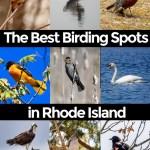 Explore the birding world of Rhode Island- Common birds and where to find them. #birds #birding #Rhodeisland #RhodeIslandWildlife
