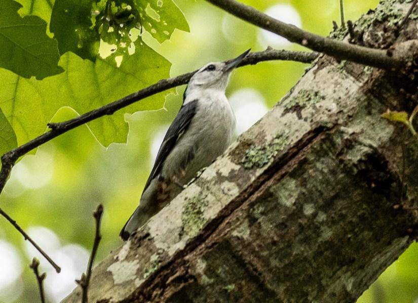 Rhode Island birds