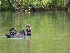 There is no shortage of Black swans in NZ now, they were reintroduced from Australia after being hunted to extinction.