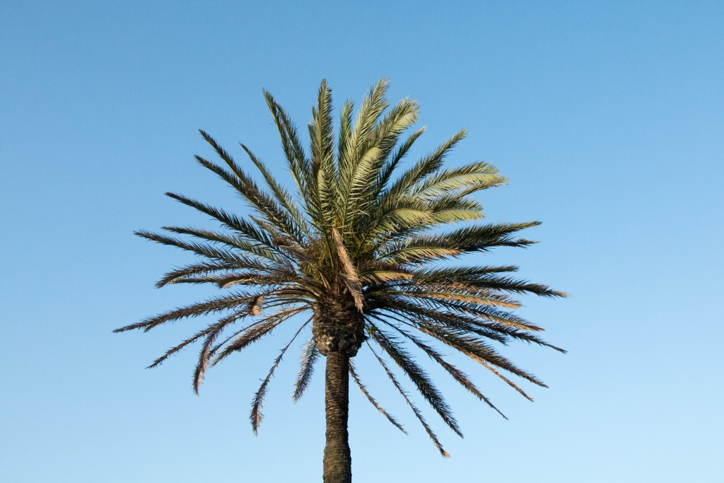 palm tree top against blue sky