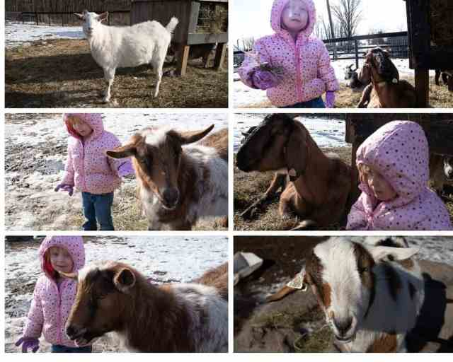 Goats at Pine Ridge Dude Ranch