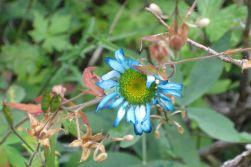 IMG_5758 aqua daisy