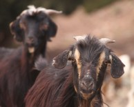 IMG_2634-goats