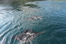 Our first sighting of the Mantas