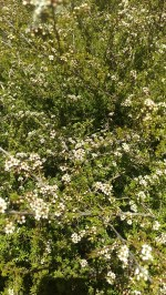 A Manuka bush in full bloom. The whole place smelt as if you had your head in a jar of honey
