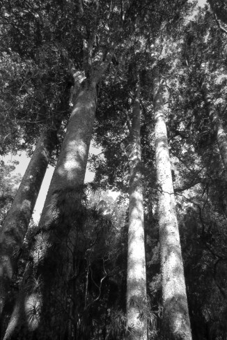The Great Kauri forest