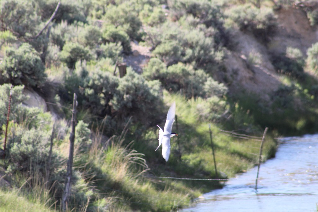 Forster's Tern flying over stream at Scipio Lake