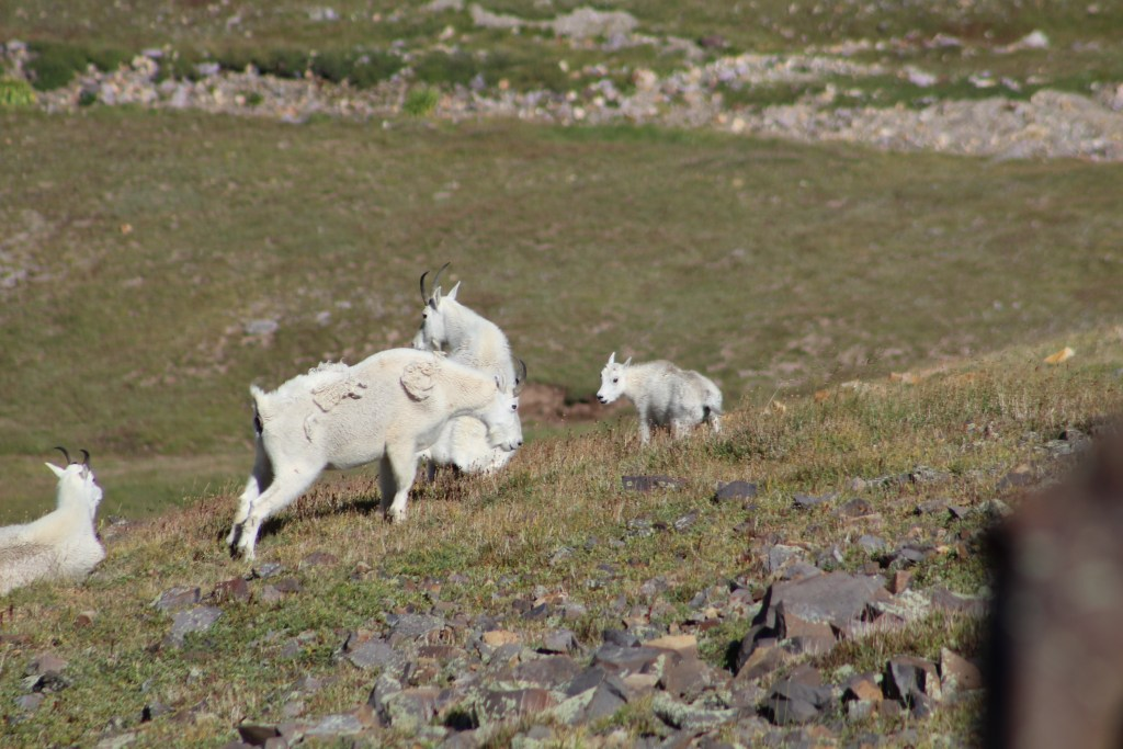 Mountain Goats in Utah