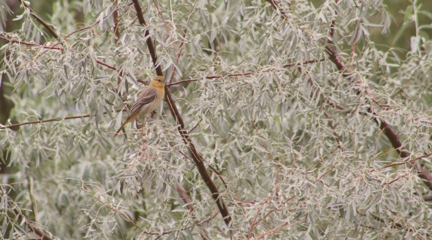 Bullock's Oriole in Russian Olive Tree