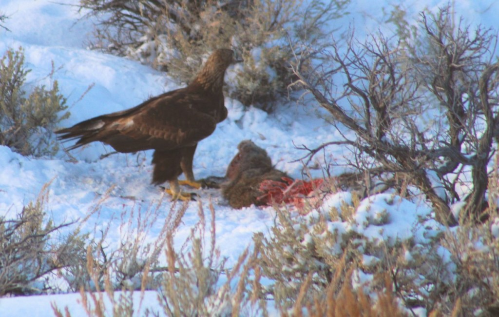 Side view of Golden Eagle at deer carcass