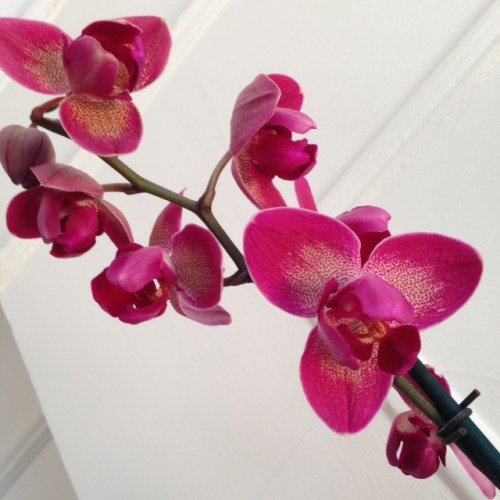 Peloric_orchid