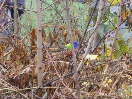 Painted Bunting Visiting Prospect Park in Brooklyn