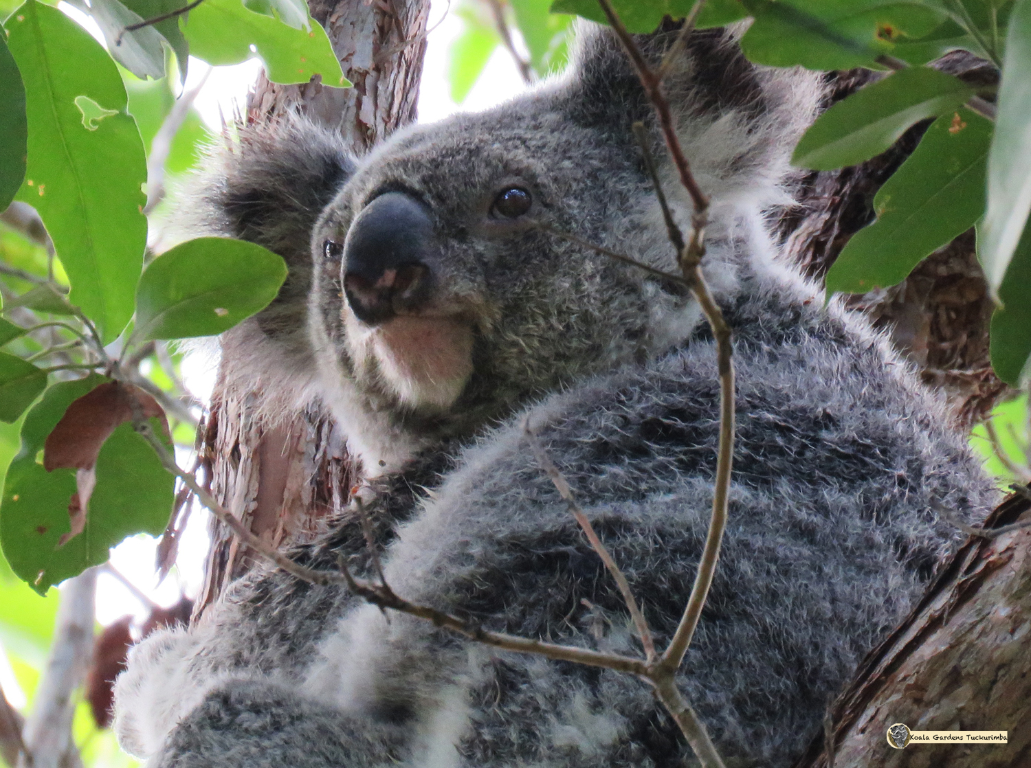 Photo of the real live wild koala Mist
