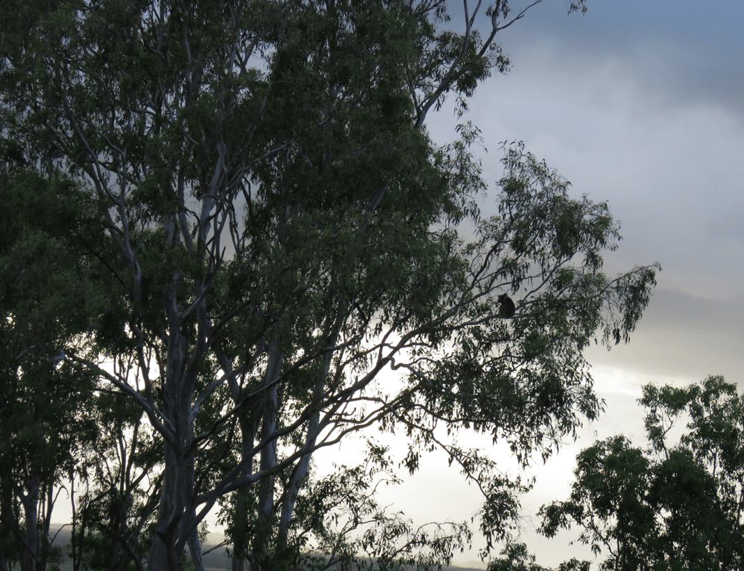 Zorro is a male koala and is seen here sitting high in a forest red gum as a storm approaches
