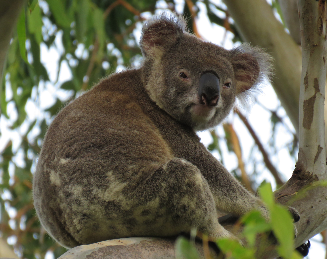 Zorro is a wild male koala and is seen here sitting high in a large mature forest red gum