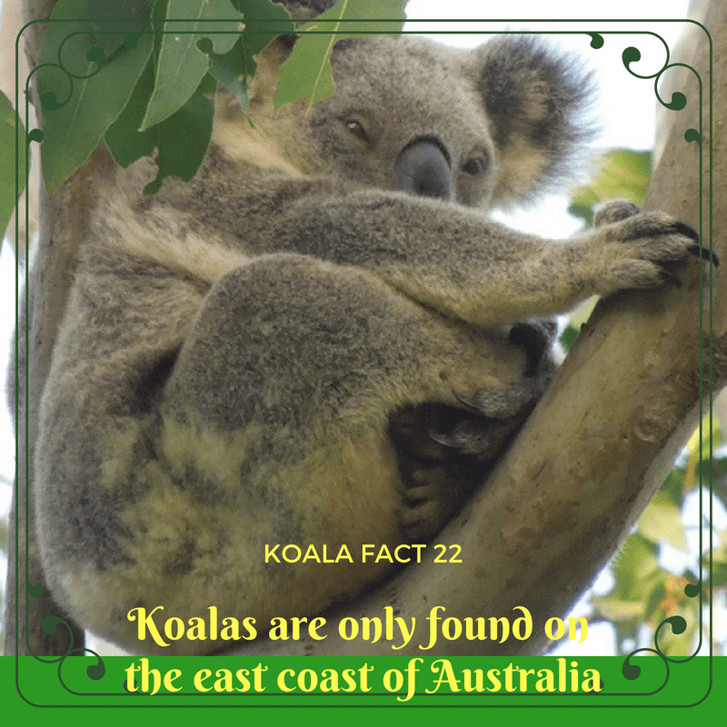 Koalas need special trees that are only found in the bushland that grows along the coast of Eastern Australia
