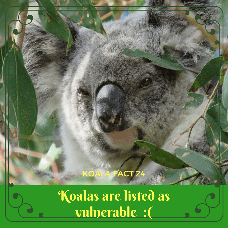 Koala numbers are dropping every single year and they are heading to extinction.