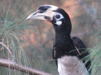 Wild hornbill in Langkawi, Malaysia