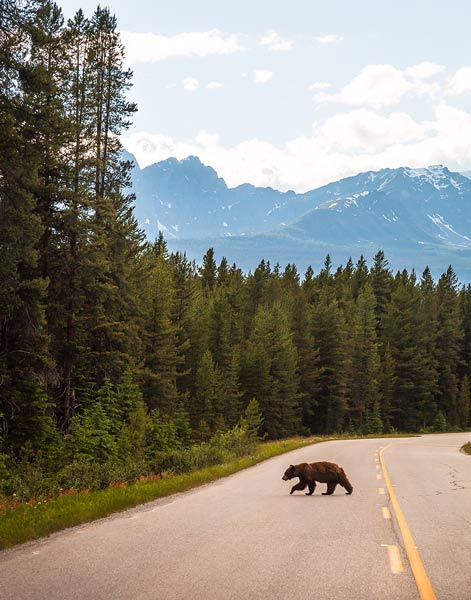 Grizzly Bear Road Canada