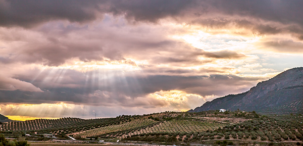 Olive Trees Spain Sunbeams