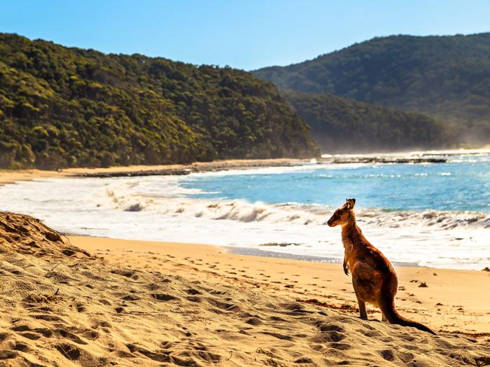 Depot Beach Kangaroo