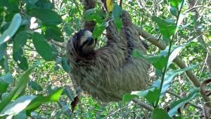 201402-panama-sloth