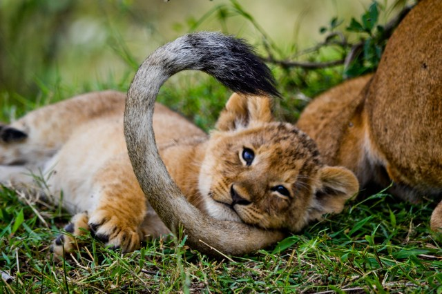 """""""Three month old lion cub snuggling in moms tail (Kenya, August 2014)"""""""