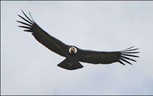 Condors in the Colca Canyon get very high!