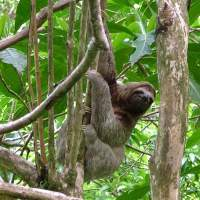 Sloth in Cahuita