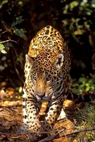 Pantanal Brazil Jaguar