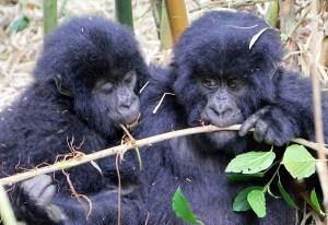 5-Day Fly-in Bwindi Gorillas