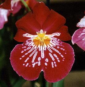 El Perú cuenta con una gran diversidad de orquídeas
